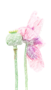 mohn_painted