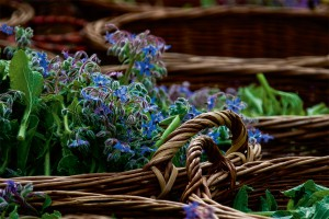 Borago officinalis - Borretsch, Erntekorb; Borago officinalis -